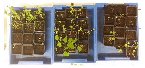 Photo montrant des graines commençant à pousser. c'est une des expériences qui sera faite à bord de l'ISS